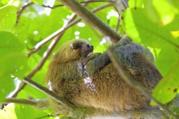 11431429-three-toed-sloth